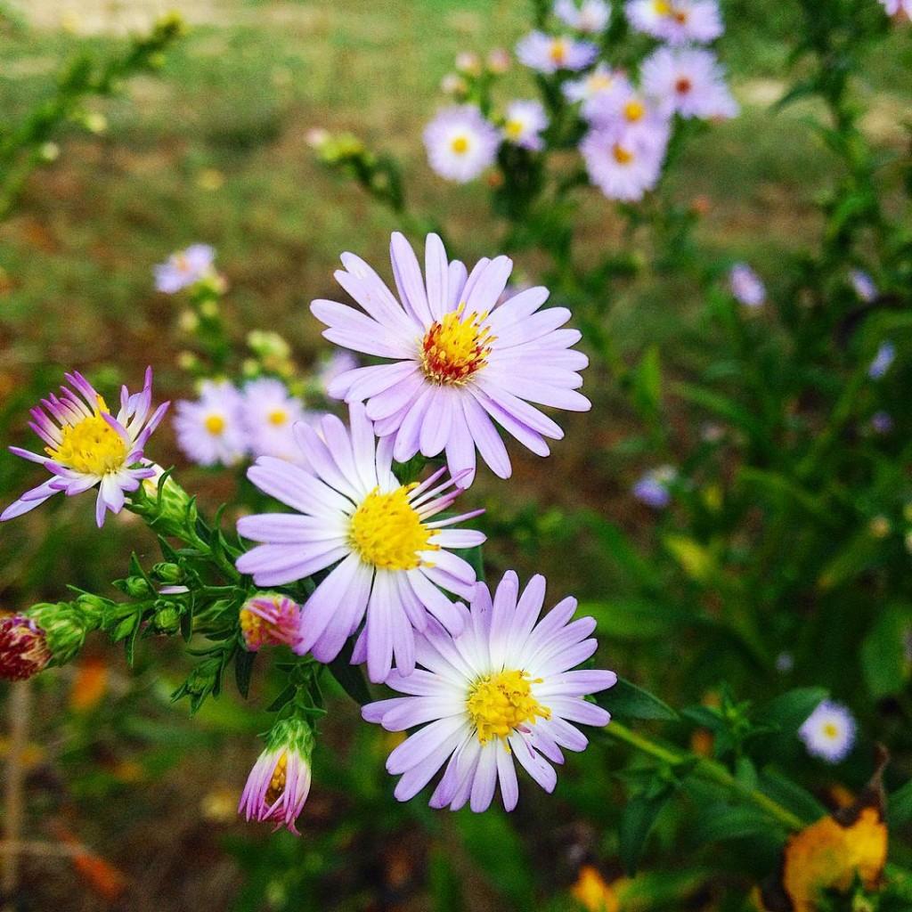 Lilac daisies settembrini #flowers #igaddict #igersbologna #igersmodena #igersitaly #lifestyle  #picoftheday