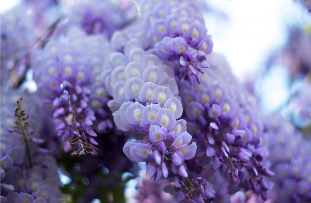 glicine-fiori